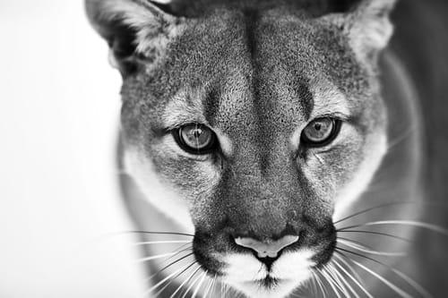 Panther black&white